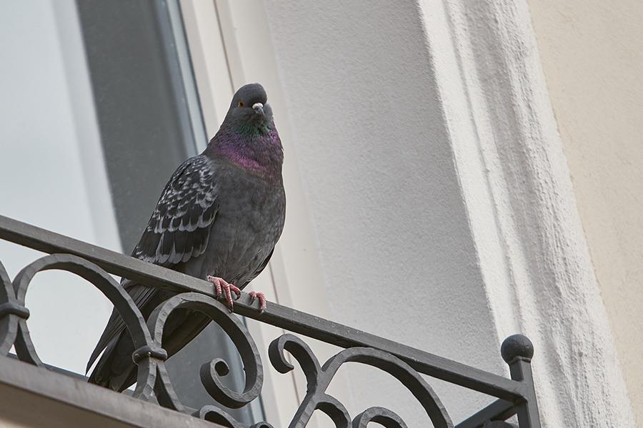 Come allontanare i piccioni e quali danni portano